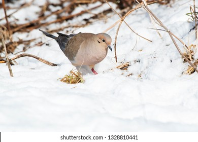 A Mourning Dove, also known as a Carolina Turtledove, is walking in the show. Humber bay Park, Toronto, Ontario, Canada.