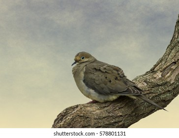 A mourning dove on an early summer morning