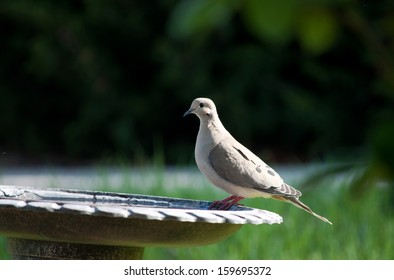 Mourning dove perched on a birdbath.