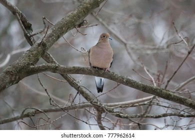 Mourning Dove perched on a branch on a gray winter day.