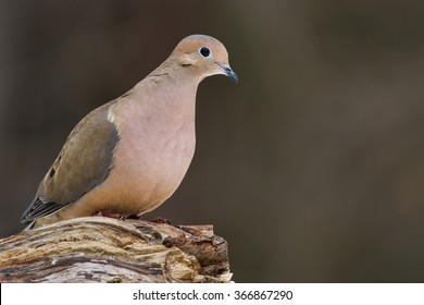 A mourning dove perched on a log.