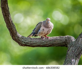 Mourning Dove perched on a tree limb