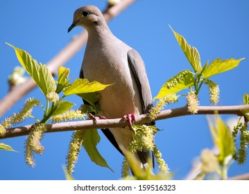 Mourning Dove perched in a tree against a blue sky.