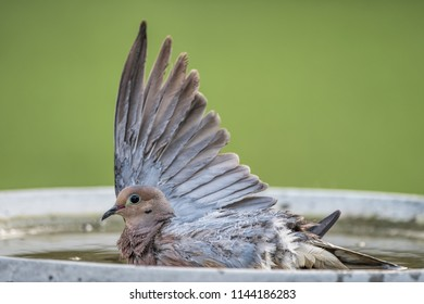 Mourning Dove Stretching Its Wing as It Splashes in Birdbath during hot Louisiana Summer