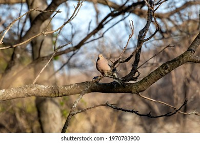 The mourning dove (Zenaida macroura) also known as the American mourning dove, the rain dove, and colloquially as the turtle dove, and was once known as the Carolina pigeon and Carolina turtledove