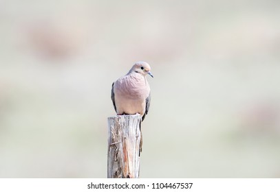 Mourning Dove (Zenaida macroura) Perched on Wood Post with Barbed Wire Fence on the Grasslands