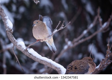 mourning doves perched in tree, branches snow covered. bird has wings up in heart shape