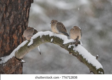 Mourning doves perched in the winter.