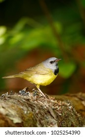 A Mourning Warbler.