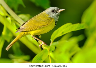 Mourning Warbler perched on a branch. Clarington, Ontario, Canada.