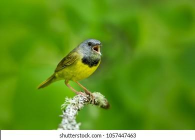 Mourning warbler taken in wild by Agnieszka Bacal.