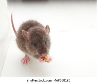 mouse animal