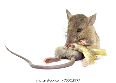 mouse animal rat eating food scrapsbin isolated on White Background