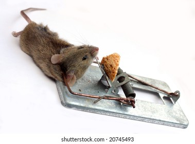Mouse captured in a mouse trap.