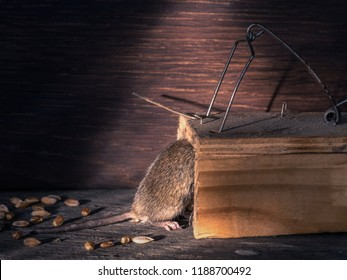A mouse caught in a mousetrap.