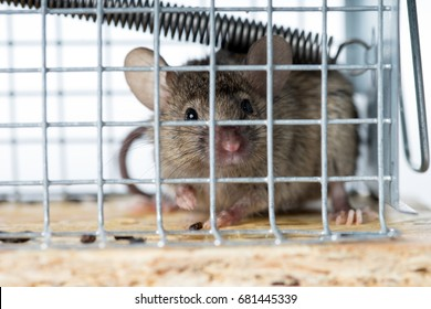 Mouse caught in a mousetrap