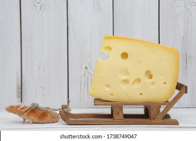 Mouse and cheese. Nutrition and delivery. Dreams come true! Cute mouse pulls tasty Swiss cheese with holes. Pet gourmet. Funny stubborn animal on diet. Hard work. Mouse wants delicious dinner. Glutton