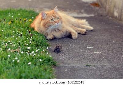 Mouse hunt cat