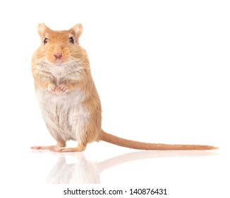 mouse is isolated on a white background. Gerbillinae