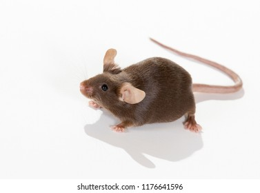 Mouse isolated on white. Long tail and big ears. Cute domestic mouse.