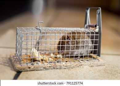 Mouse in a live capture mousetrap at the ground of the kitchen, live catch trap