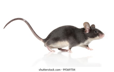 Mouse with a long tail running on a white background. Macro shoot