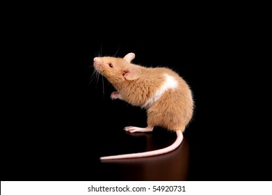 mouse on black background