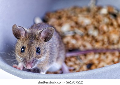 Mouse portrait in grain bowl