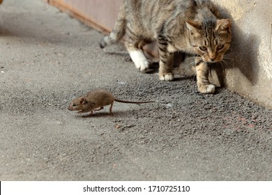 The mouse runs away from the cat. The cat catches up with the mouse. Cat and mouse. Mouse hunting. The cat is on the hunt.