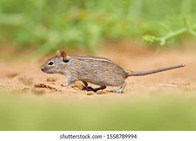 Mouse in the sand with green vegetation, funny image from nature, Namib desert sand dune in Namibia. Wildlife Africa. Four-striped grass mouse, Rhabdomys pumilio, beautiful rat in the habitat.