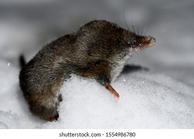 mouse shrew in the snow at night