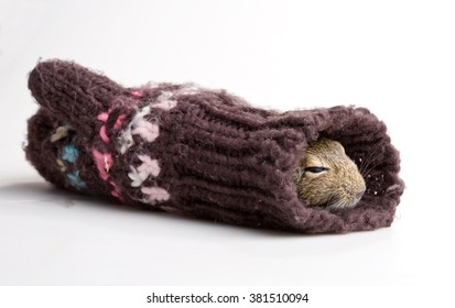 mouse sleeping in knitted mitten isolated on white