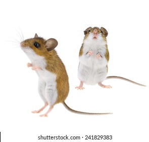 Mouse Standing Upright - Isolated Brown & White Woodlands Deer Mice - Peromyscus