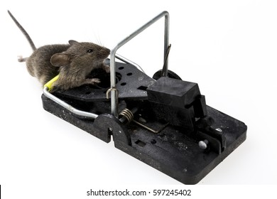 mouse trapped in a mouse trap on bright background