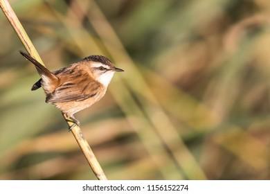 Moustached Warbler (Acrocephalus melanopogon)