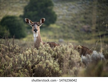 Moutain Nyala grazing in Ethiopian highlands