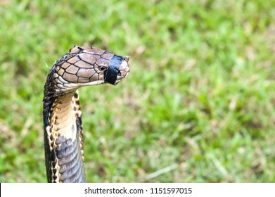 The mouth of King Cobra muzzle with tape
