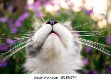 mouth and nose of a young maine coon cat looking up with long whiskers on floral background