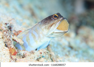 Mouthbrooding Jaw Fish with eggs in its mouth, Indonesia