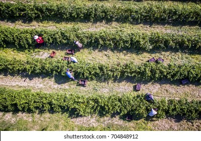 Mouzaki, Ilia, Greece - August 18, 2017: seasonal farm workers (men and women, old and young) pick and dry raisins in Greece. Raisins are produced commercially by drying harvested grape berries