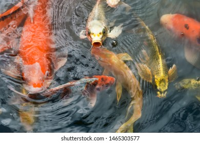 Movement of Fancy carp fishes ,mirror carp, Romaji, Koi, Nishikigoi are subspecies Cyprinus carpio haematopterus is a species of carp that has been developed from ordinary carp rise to beautiful fish.