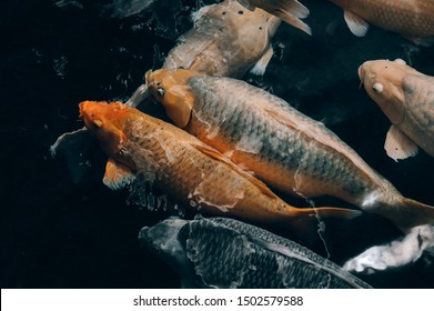 Movement of Fancy carp fishes in a pond. Tirta gangga water palace. Bali, Indonesia