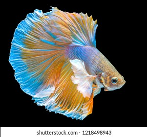 The movement of Gold Betta fish, siamese fighting fish, betta splendens (Halfmoon betta) isolated on black background