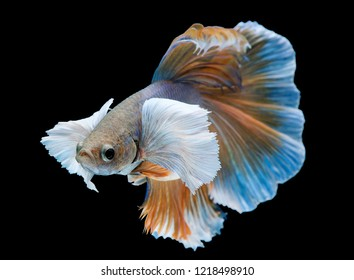 The movement of yellow Betta fish, siamese fighting fish, betta splendens (Halfmoon betta) isolated on black background
