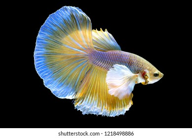 The movement of yellow Betta fish spread tail-feathers, Siamese fighting fish, betta splendens (Halfmoon betta) isolated on black background