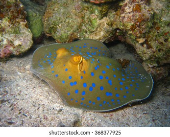Moving Blue Spotted Stingray Frontal