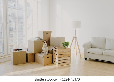 Moving Day concept. Cute domestic dog poses near cardboard boxes in spacious room with sofa, big window in background, waits for host, change place of living in new apartment, looks somewhere.