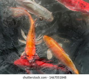 Moving of Fancy carp fishes , mirror carp, Romaji, Koi, Nishikigoi are subspecies Cyprinus carpio haematopterus is a species of carp that has been developed from ordinary carp rise to beautiful fish.