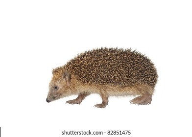 moving hedgehog on white background