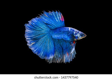 The moving moment beautiful of blue siamese betta fish or fancy betta splendens fighting fish in thailand on black background. Thailand called Pla-kad or half moon biting fish.